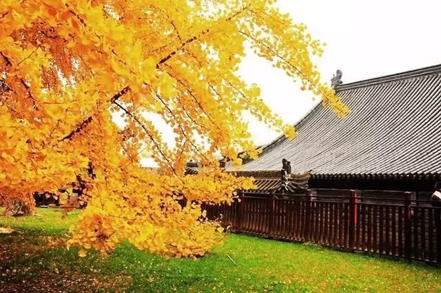 唐太宗李世民种下的一颗银杏树,美了1400年