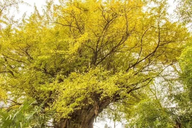 被李世民种下的银杏美到算什么 四川多的是美了不止千年的银杏金毯