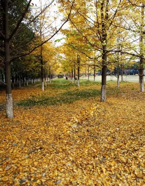 被李世民种下的银杏美到 四川这些地方的银杏,可不止美了1400年