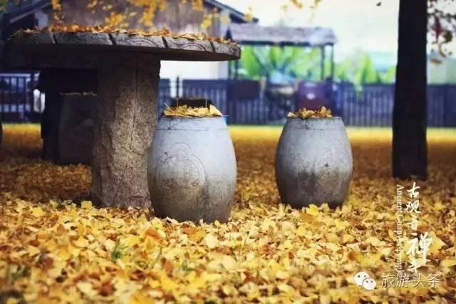 毕竟那有棵唐太宗1400年前种下的银杏树