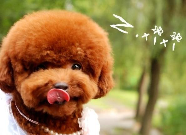 泰迪狗狗天生不掉毛