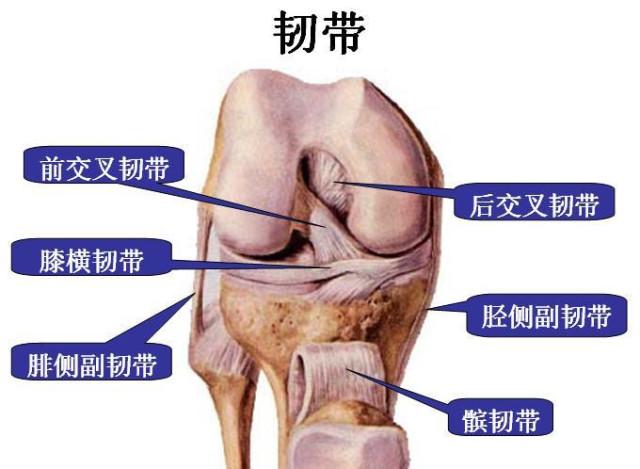 膝关节解剖 膝关节的四面观