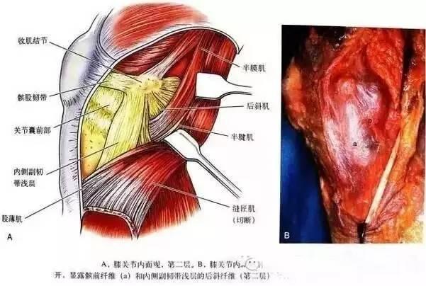 膝盖3D结构高清解剖