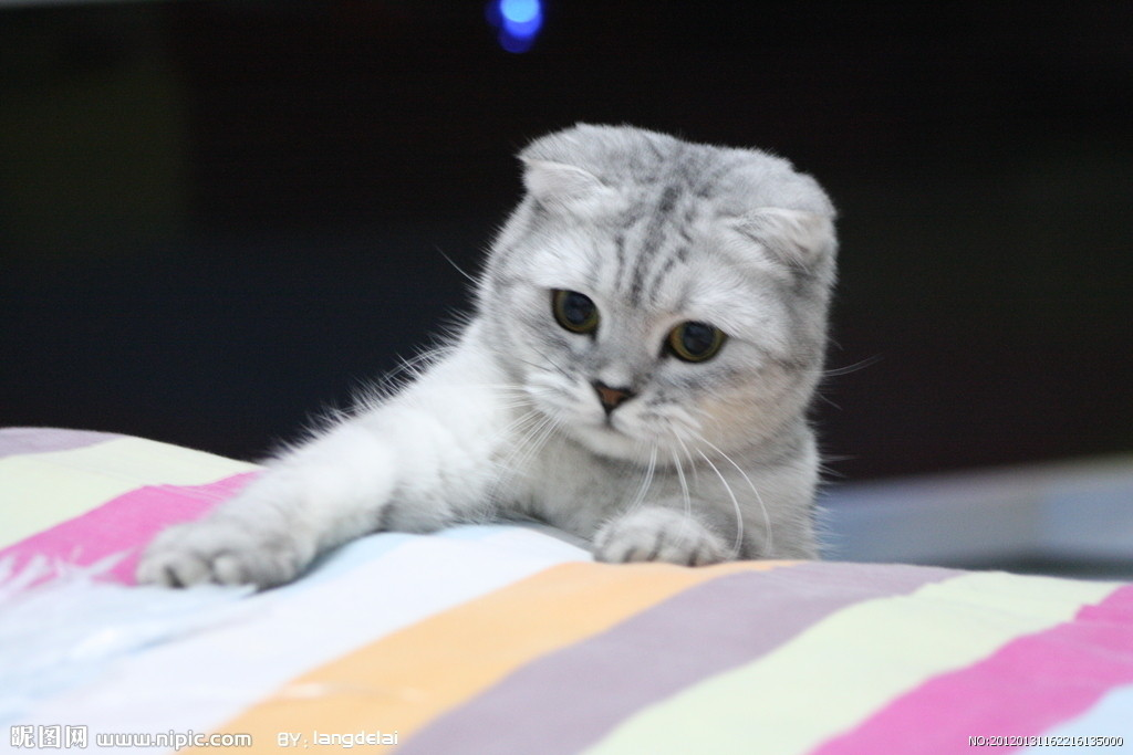 苏格兰折耳猫好养吗 养折耳猫要注意哪些问题