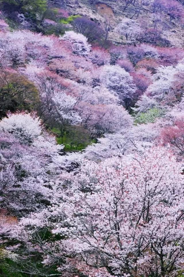 起在樱花树下许愿