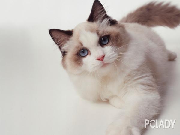 布偶猫挑食怎么办图片