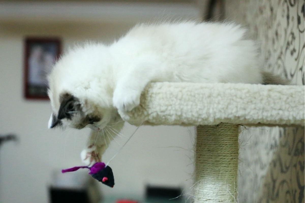 布偶猫不吃东西图片