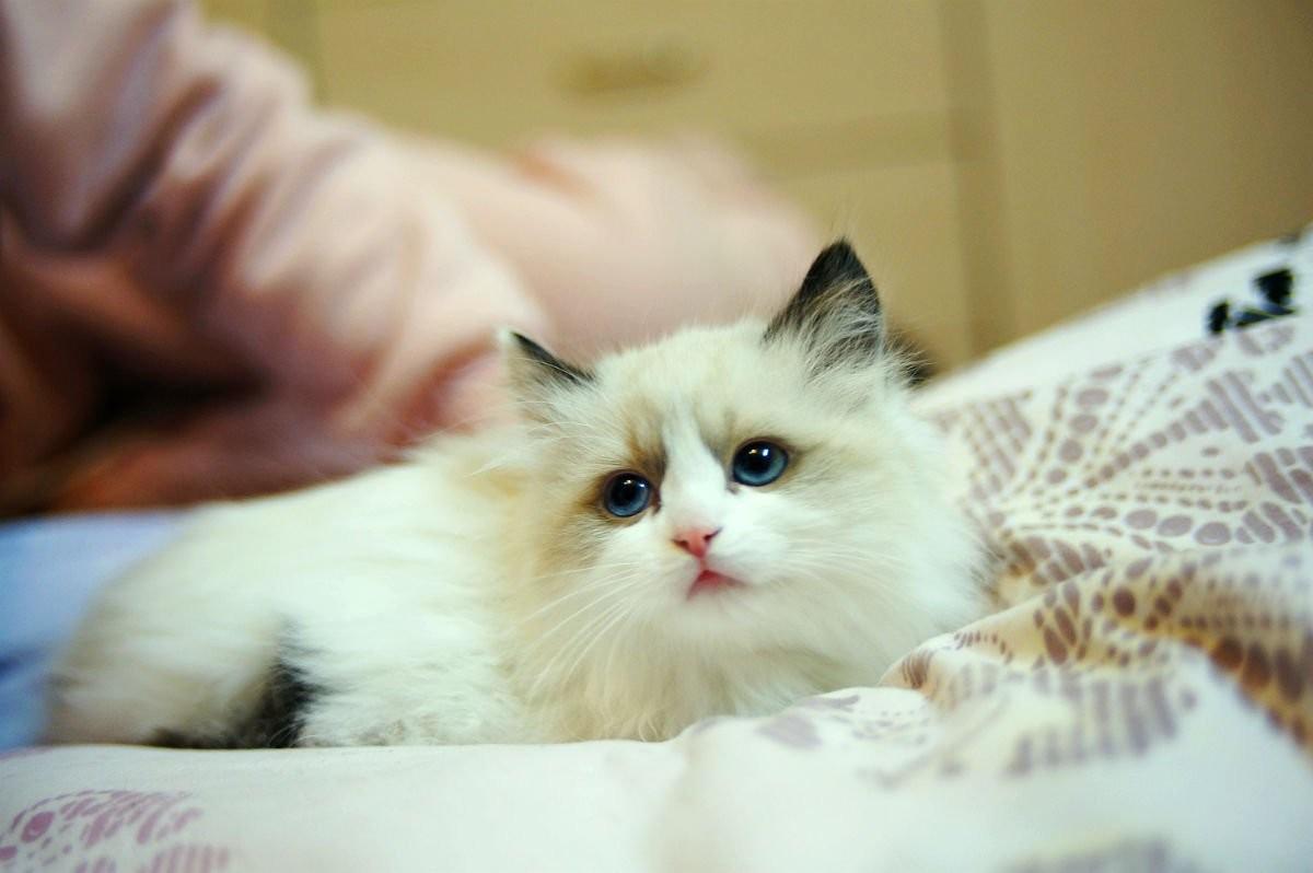布偶猫不吃东西怎么办图片