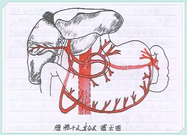 厉害了word医生,手绘海量解剖图 !