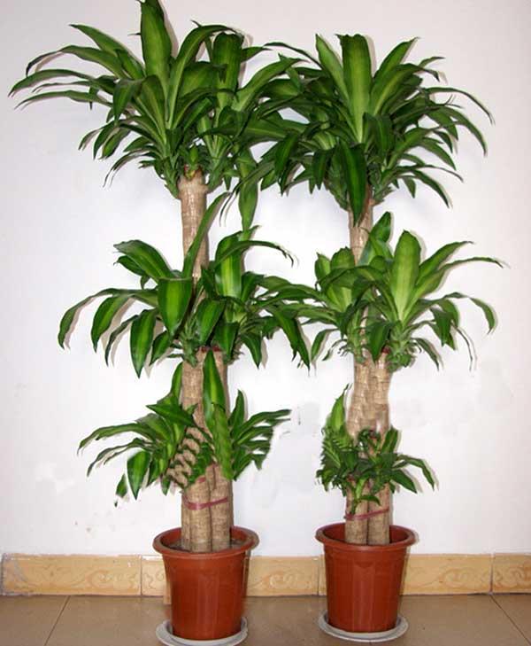 冬季室内最适合放的十种植物