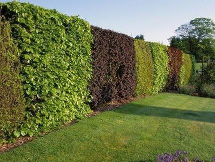 园林景观设计 之 植物绿篱选择