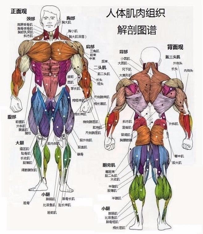 人体的肚子内部结构�_人体肌肉群功能总结