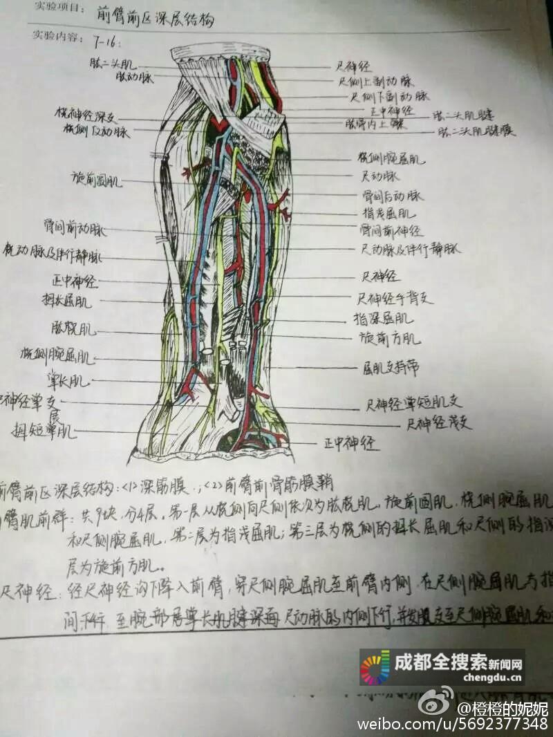 成都医学院大二女生手绘解剖图走红网络
