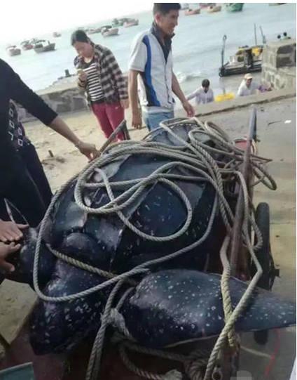 湛江市海洋与渔业局回应屠宰海龟事件:将从严从速查处 - 梅思特 - 你拥有很多,而我,只有你。。。