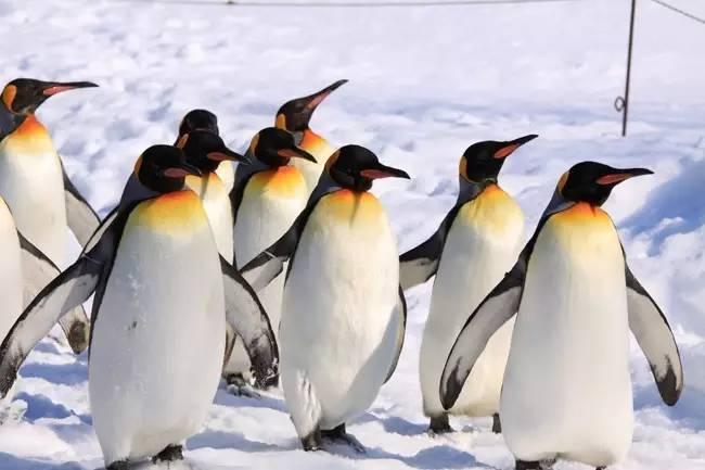 游戏旭山动物园一定要来到憨态可掬的北极熊.蜜蜂看看两只小幼儿图片