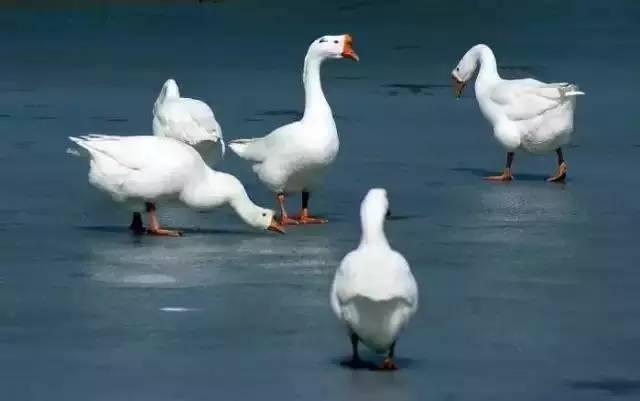 大白鹅-大理乡村十大厉害角色,就说哪个你不怕