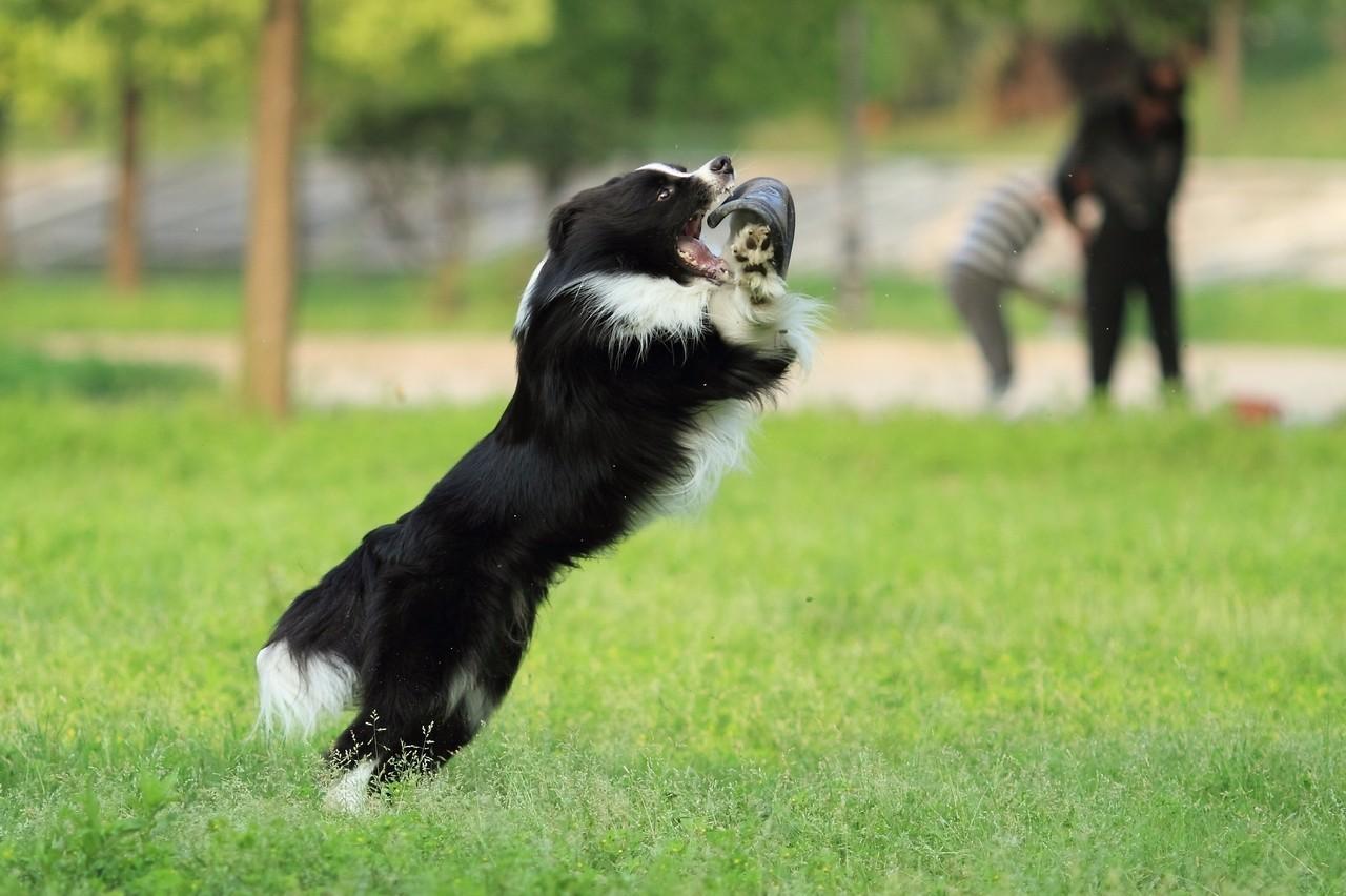 巨型犬好养吗_中国沙皮犬好养吗_边境牧羊犬好养吗