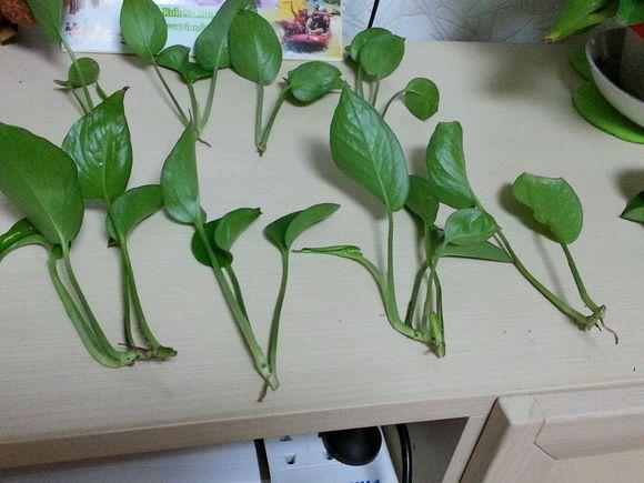 绿萝怎么养才能爆盆呢?图片