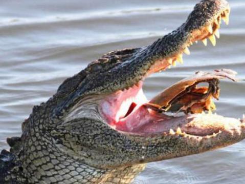 �]��_鳄鱼好不容易抓到了个鲎,刚张嘴就死死卡在牙缝里