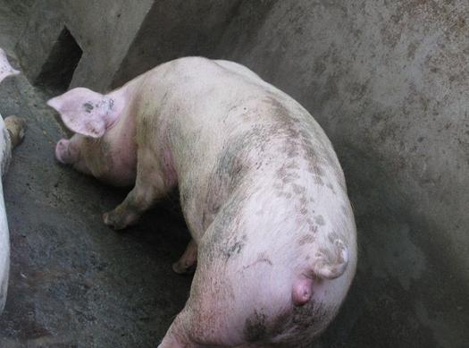 母猪爬跨,自动接近公猪,按压背部时,安静,耳朵直立,流出白色浓稠带丝图片