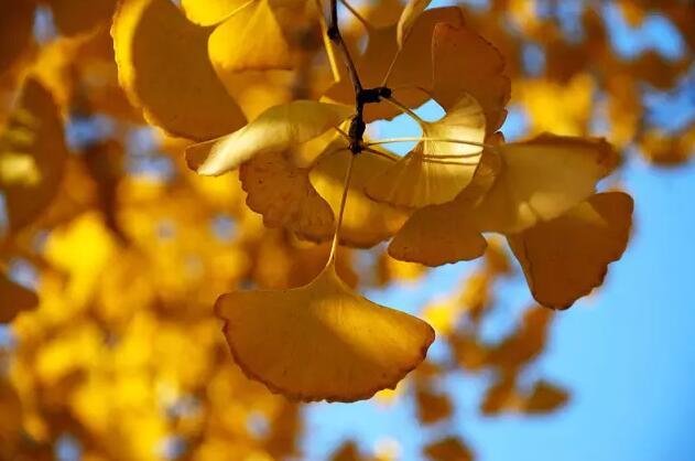 银杏的叶子是不是可以泡茶喝,有什么好处 该什么时候采摘最好