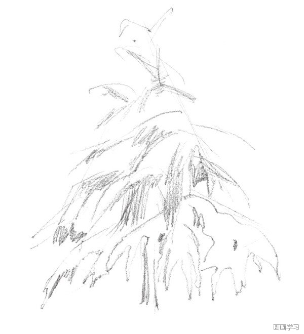 如何学素描——素描雪松的绘画教程