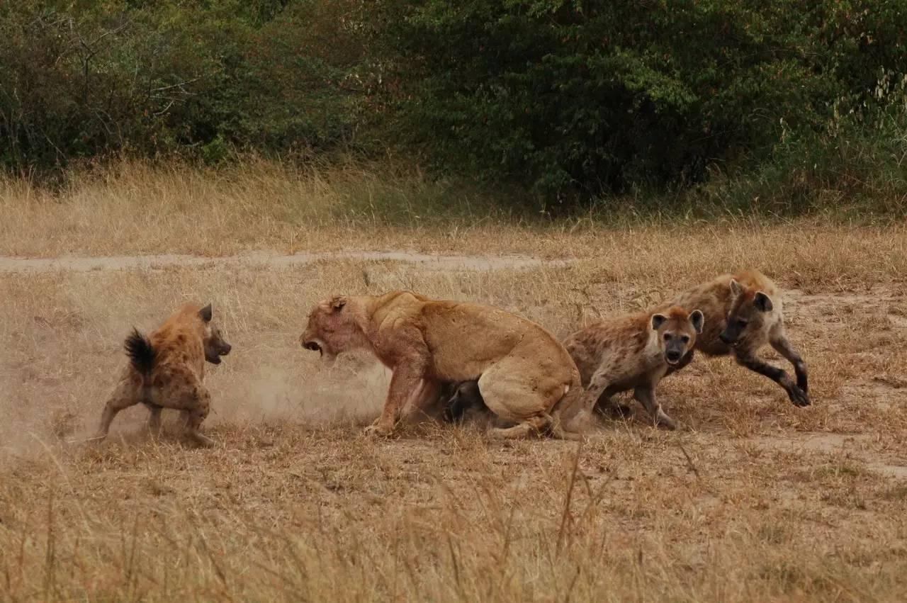 肏死大黑逼肛交好爽_狮子和老虎打架谁能赢|大象公会