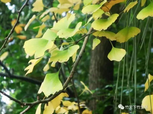 李世民栽的银杏树美了1400年,咱永安也有 太美了