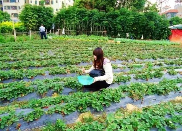 深圳的草莓熟啦!23个摘草莓的好去处,收好不谢