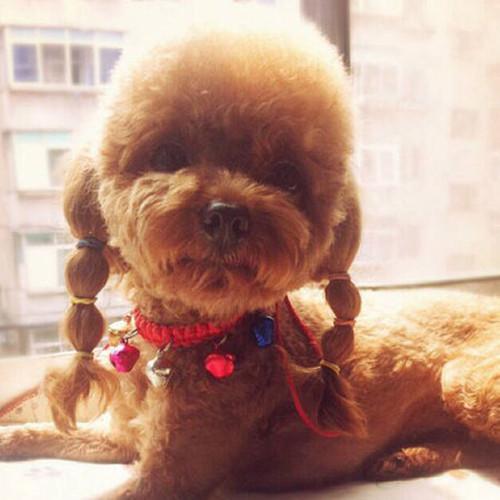刚出生的泰迪狗图片