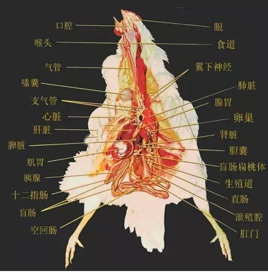肝脏生理解剖结构_观察肝脏,脾脏,腺肌胃-判断疾病