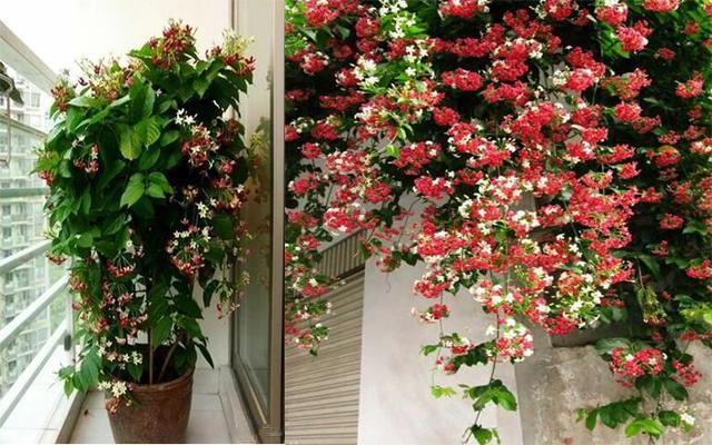 美丽花卉使君子,一天变换三次颜色,阳台盆栽首选图片