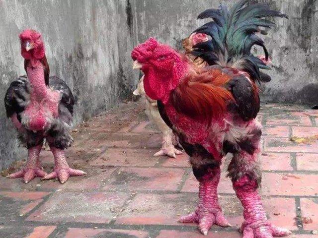 农村大哥家养的 大脚怪鸡 ,5000元一只令人惊讶图片