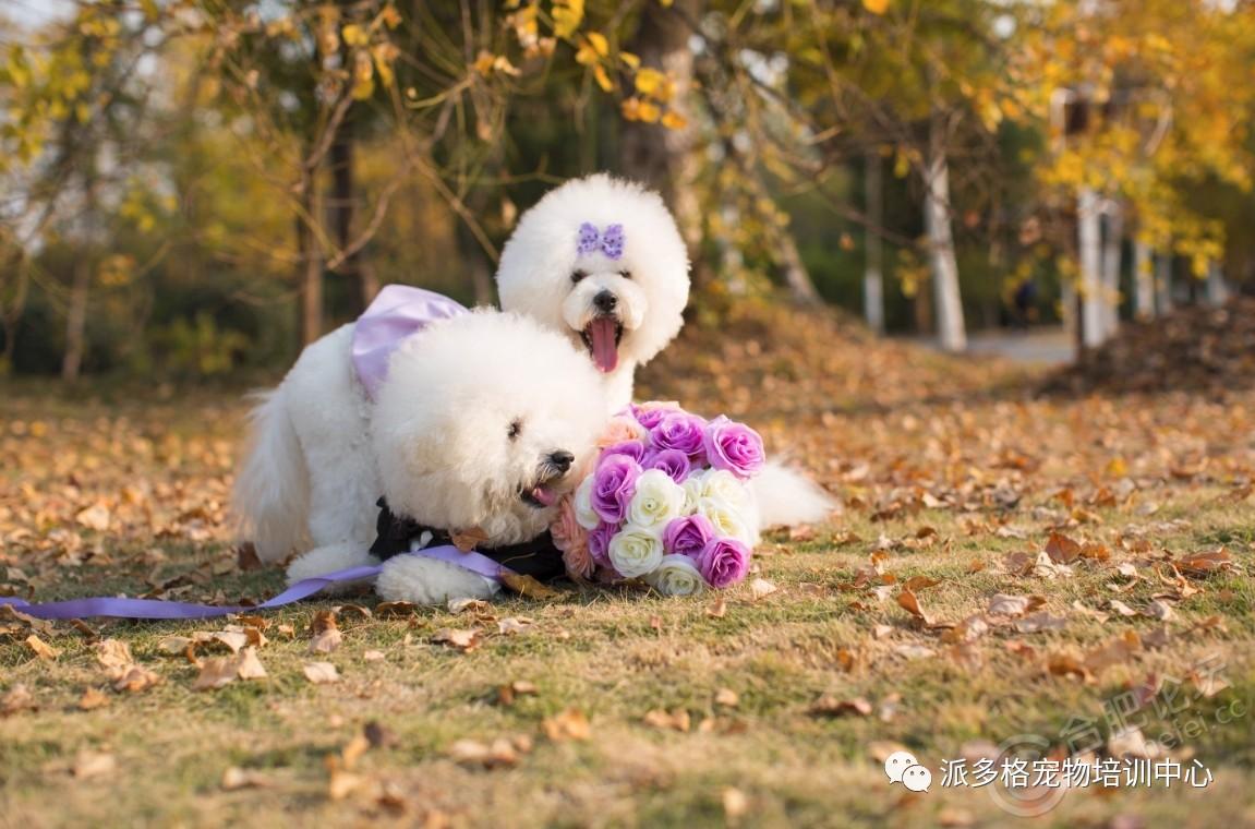 狗狗美观重要,健康更重要,宠物狗染发的注意事项