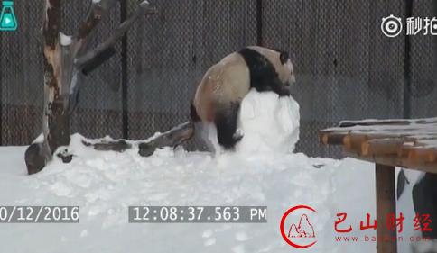 忍俊不禁!多伦多动物园大熊猫怒打雪人反被砸头