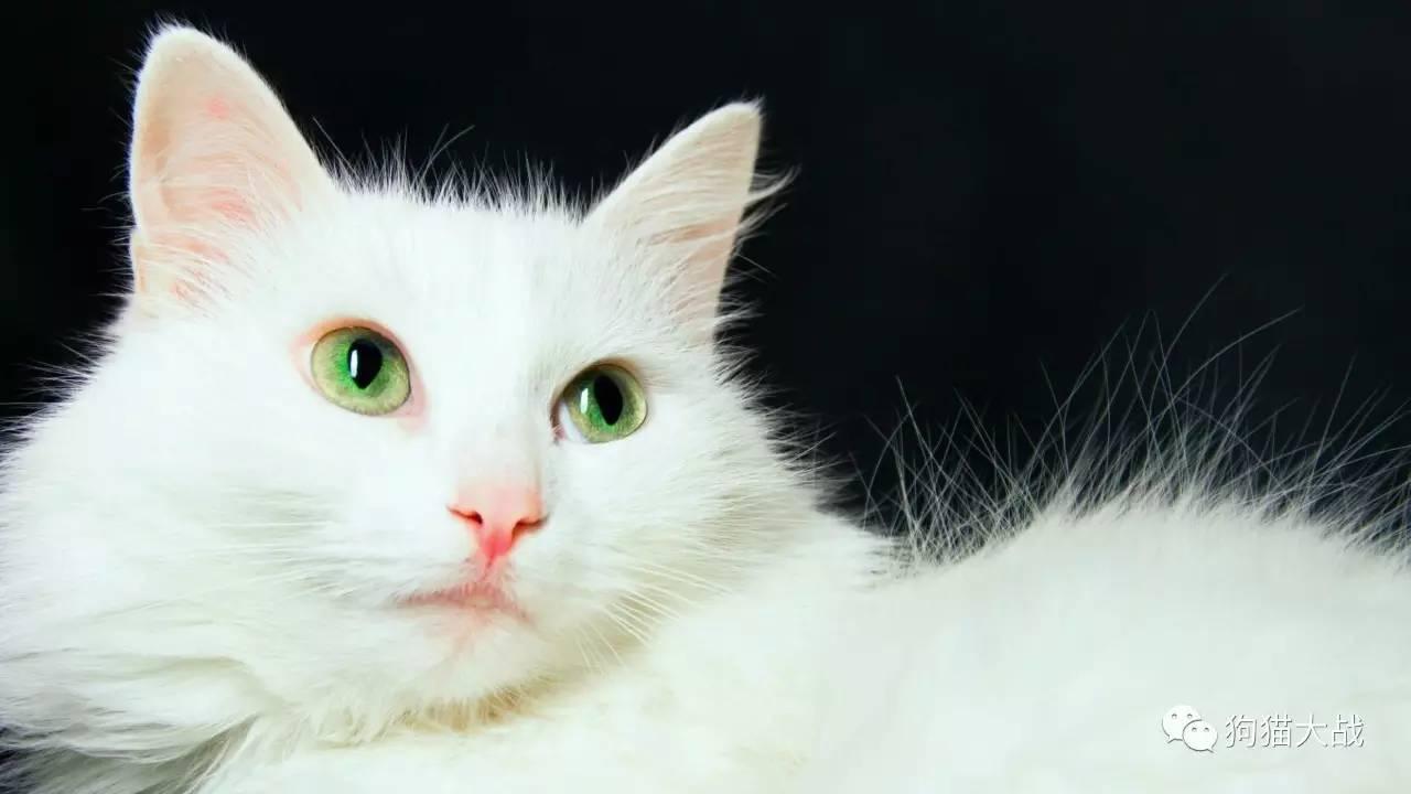 猫咪甲亢的症状图片