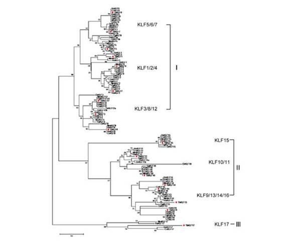 树鼩klf蛋白结构与功能和人体中同源家族基因高度类似.
