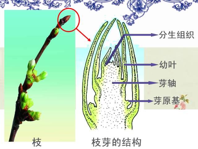 【每日一讲】初中生物:枝芽与茎的结构