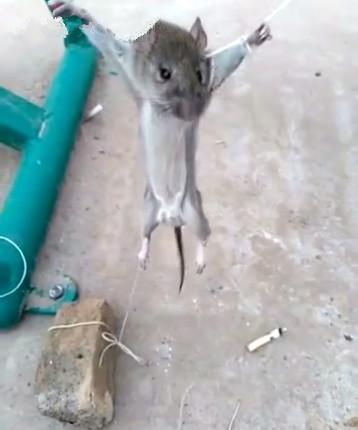 农村小伙让老鼠抽香烟,仔细一看令人笑抽