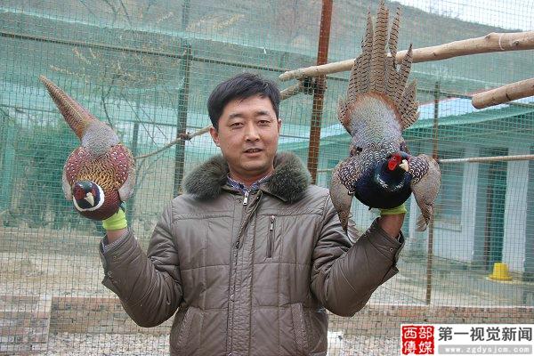 """甘肃平凉:一家专门养殖野鸡孔雀的农场"""""""