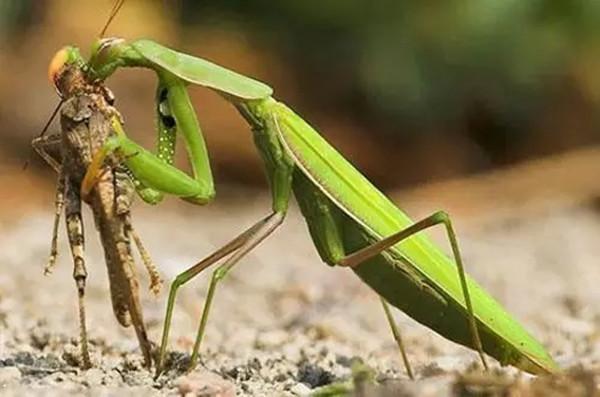 在螳螂交配完成之后,雌性会十分残忍地一口咬下雄性的头部,而雄性螳螂表现得十分妥协,它们情愿等待雌性的残杀.