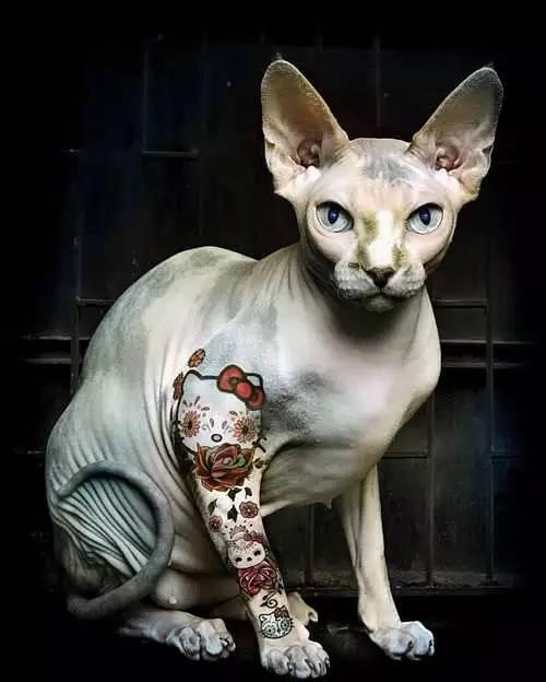 纹身|斯芬克斯猫