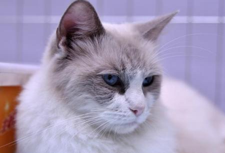 猫霉菌感染症状与治疗方法 如何预防猫霉菌发生