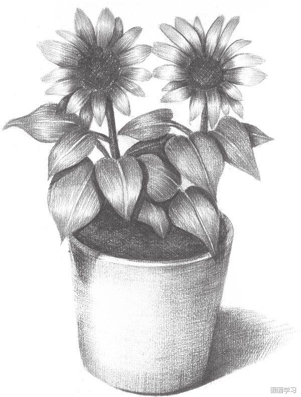 如何学素描——素描太阳花的绘画教程