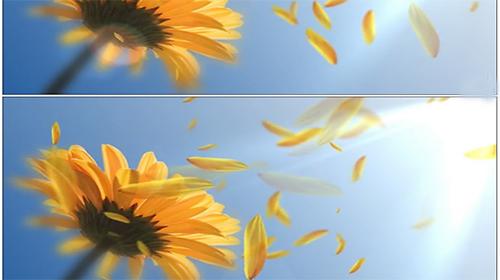 向阳花,俗称向日葵.向往光明之花,希望之花.图片