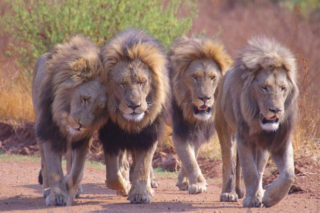 老虎VS狮子,永远的话题
