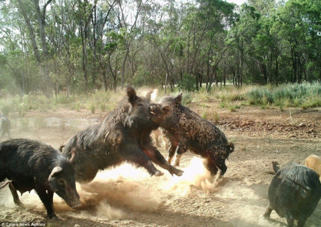 澳洲流浪动物成生态灾难