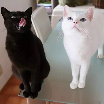 网友家的黑猫:喵太和白猫:moco