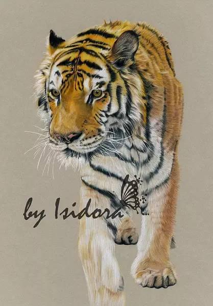 tiger 彩铅手绘过程