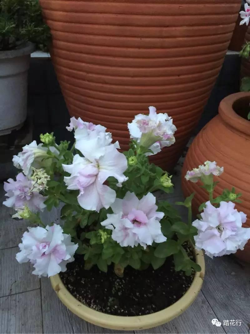 进口大花重瓣天竺葵